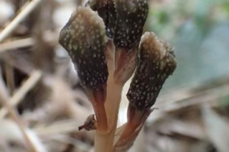 В Японии найдено растение, которое не использует фотосинтез и не цветет