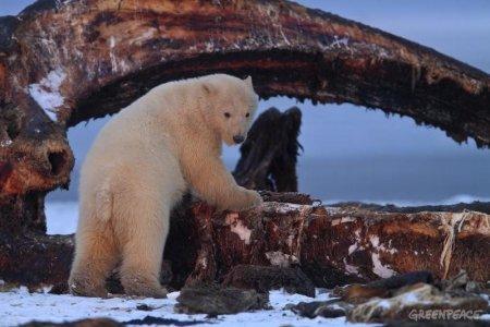 Арктика: горячие будни холодного края