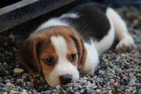 Первую клонированную ГМО-собаку вывели в Китае