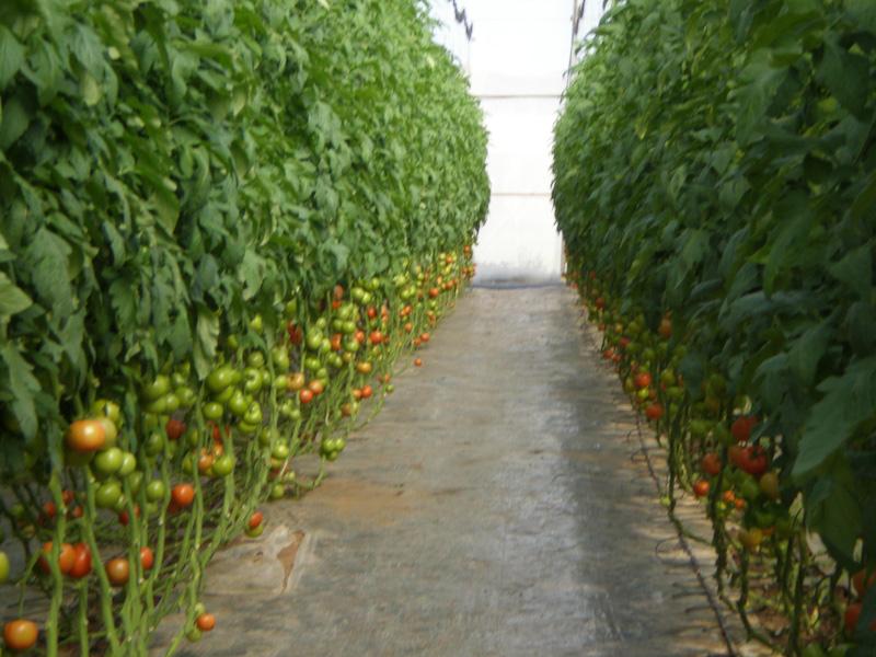 Ряды томатов в теплице