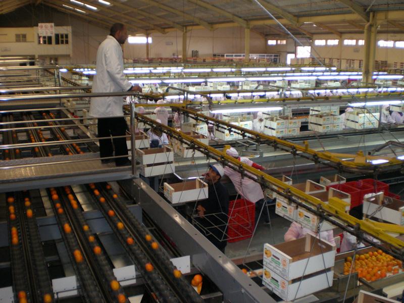 В цеху упаковки цитрусовых