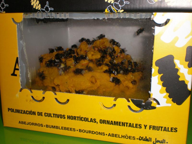 SIFEL Agadir. Пчелы облепили свой мед